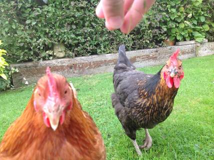 Hens make wonderful pets who pay their rent in eggs