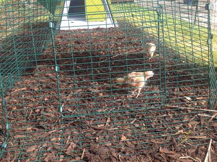 Our 3 week old chicks out for a little time in their lovely new house.