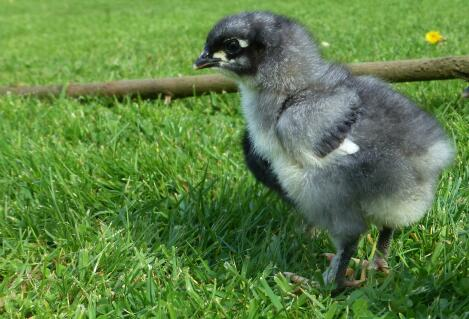 blue copper maran chick