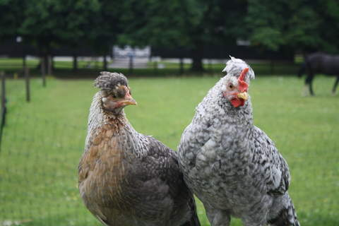 young cockerel and hen