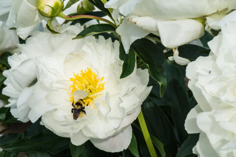 bee on white peony