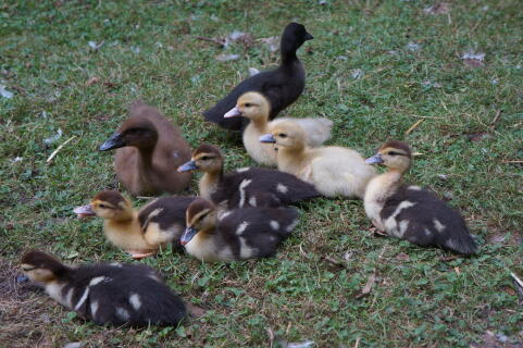 Muscovy ducklings
