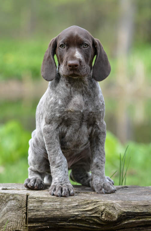 German Short Haired Pointer Dogs Breed Information Omlet