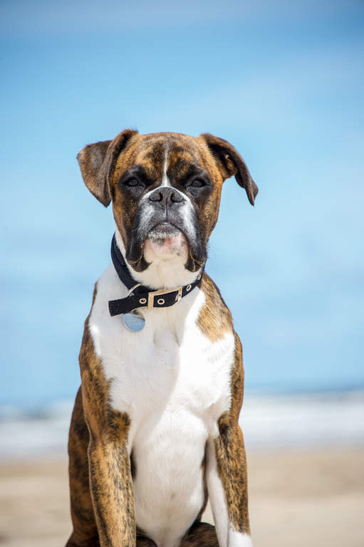 boxer dogs breed information omlet