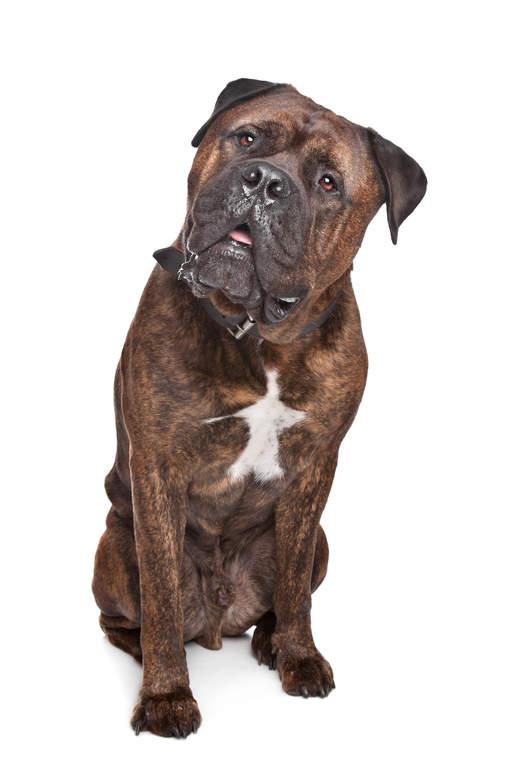 bullmastiff dogs breed information omlet