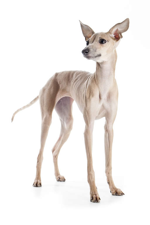 Italian Greyhound Dogs Breed Information Omlet