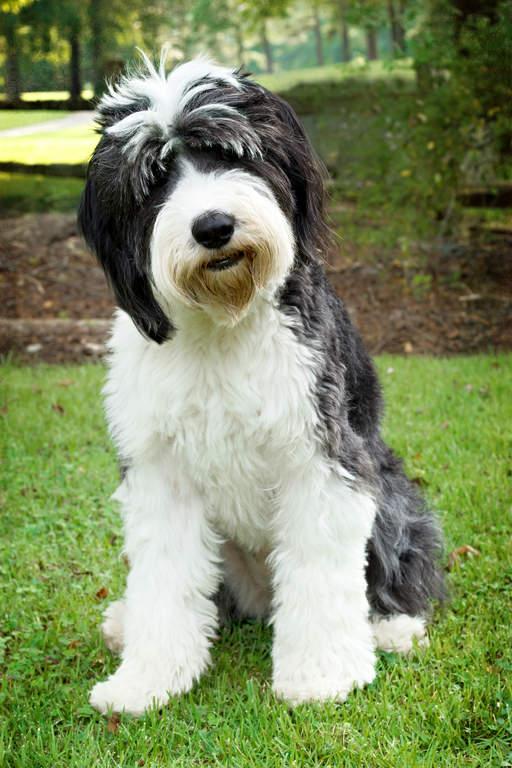 Image result for old english sheepdog