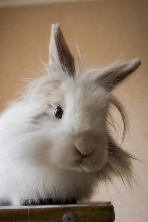 Giant Chinchilla Rabbit Lionhead For Sale | Ra...