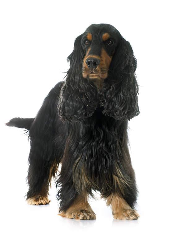 Cocker Spaniel (English) | Dogs | Breed Information | Omlet