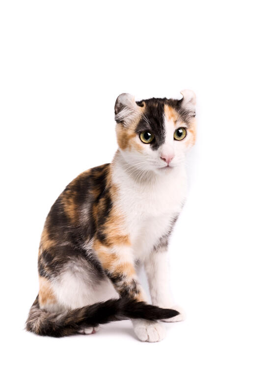 American Curl (Shorthair) | Cats | Breed Information | Omlet