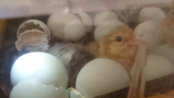 Araucana eggs hatching