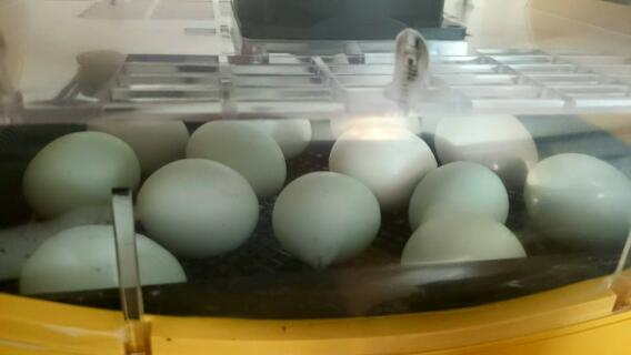 Araucana eggs ready to hatch