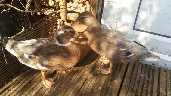7-8 weeks old call ducks
