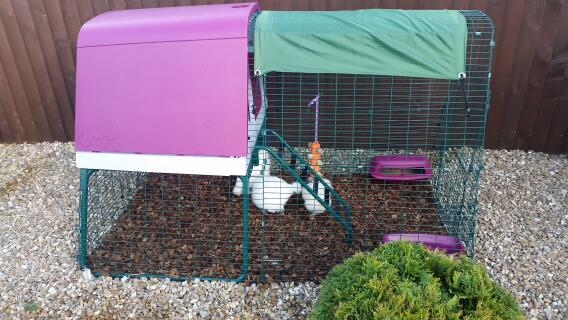 More fun with the silkies new coop.