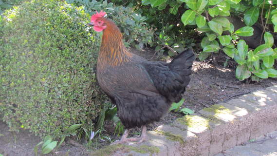 Copper Black Marans