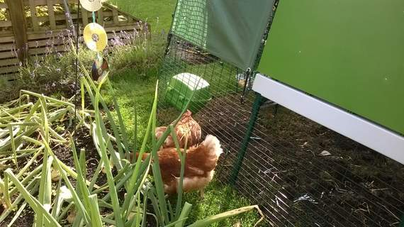 My chooks just love the Eglu Go Up..