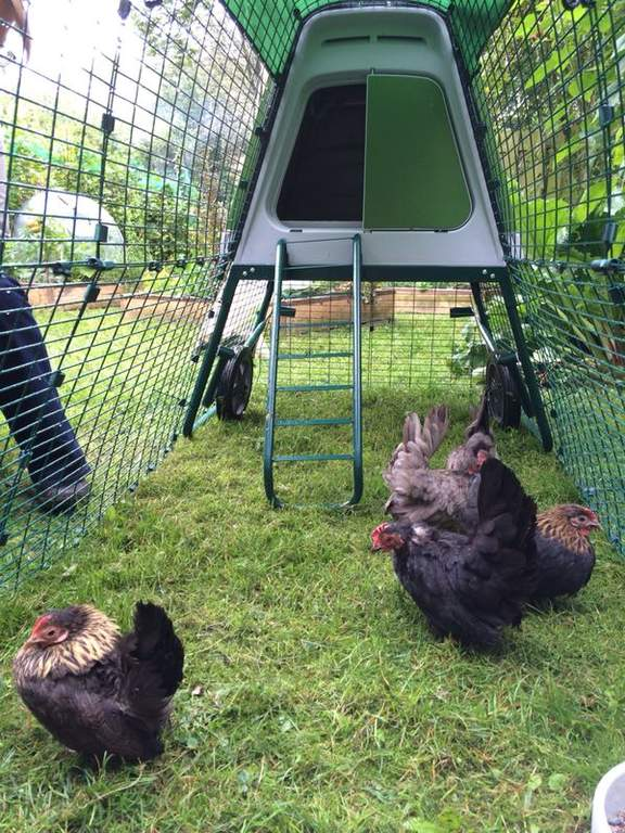 Serama Bantams in their Eglu Go Up