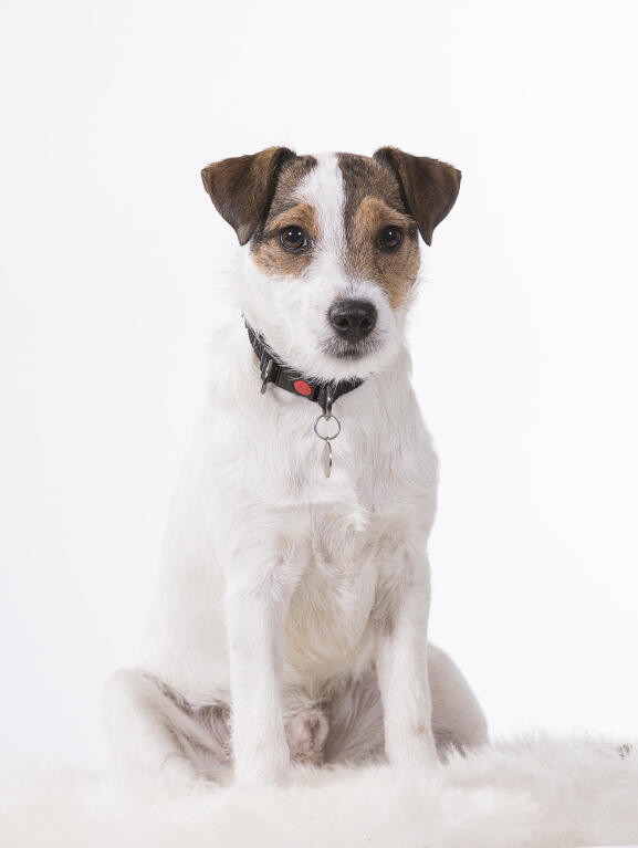 Parson Russell Terrier Dogs Breed Information Omlet