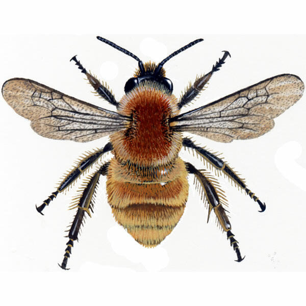 Bumblebee For Sale Bees Breed Information Omlet