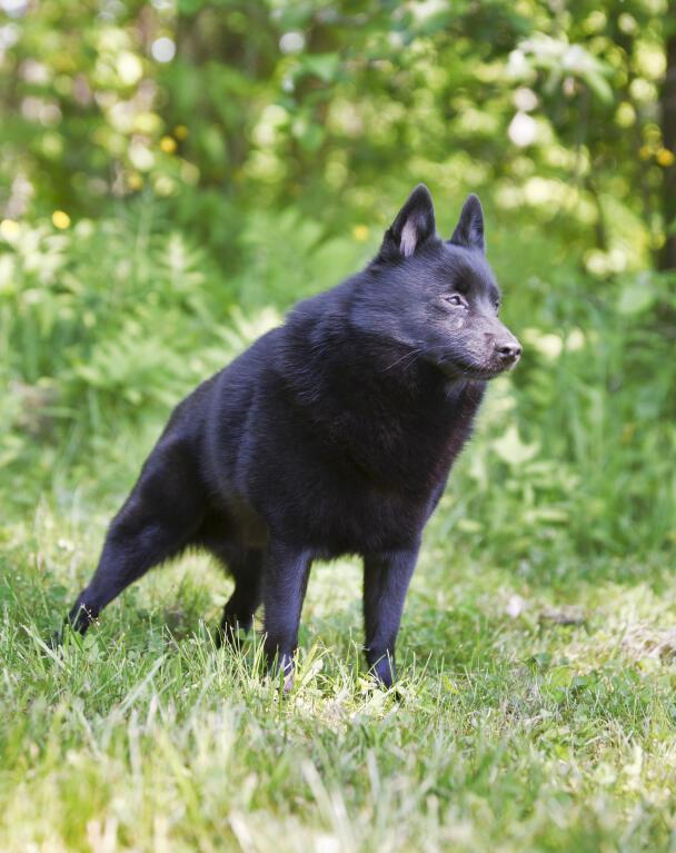 schipperke dogs breed information omlet
