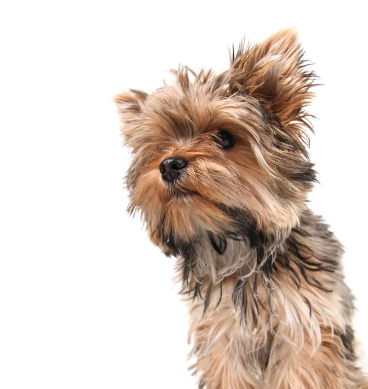 Yorkshire Terrier | Do...