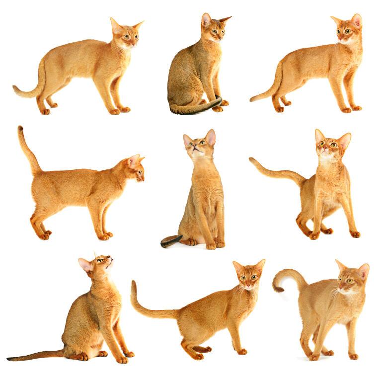 Abyssinian Cat Genetics