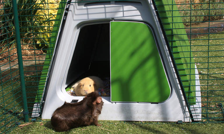 Guinea pigs can go between their Eglu Go Hutch and Outdoor Guinea Pig Run as they please