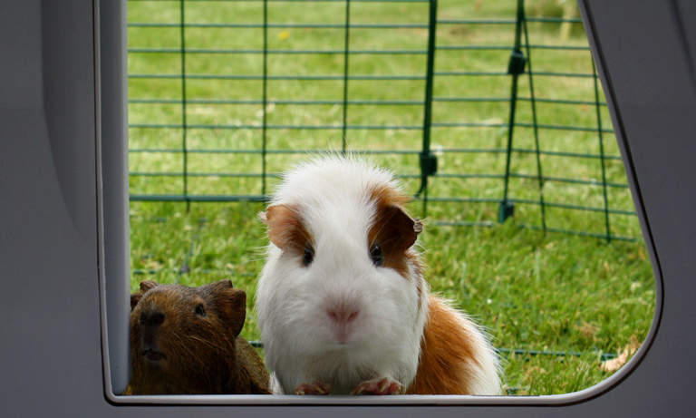 Guinea pigs can pop in and out of their house whenever they like!