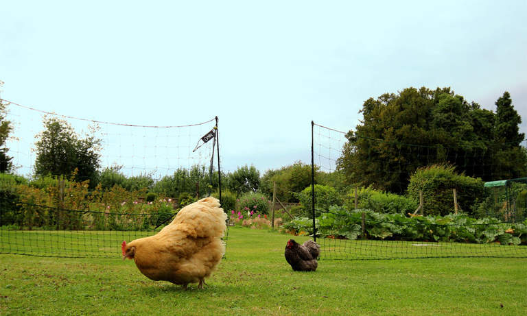 Chickens will love wandering around their large fenced off area