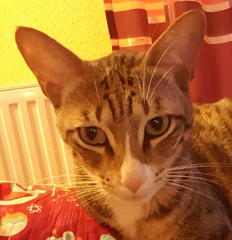 Arabian Mau Cats Breed Information Omlet