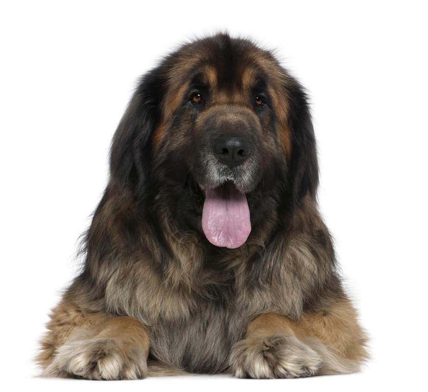 Giant Leonberger Dog