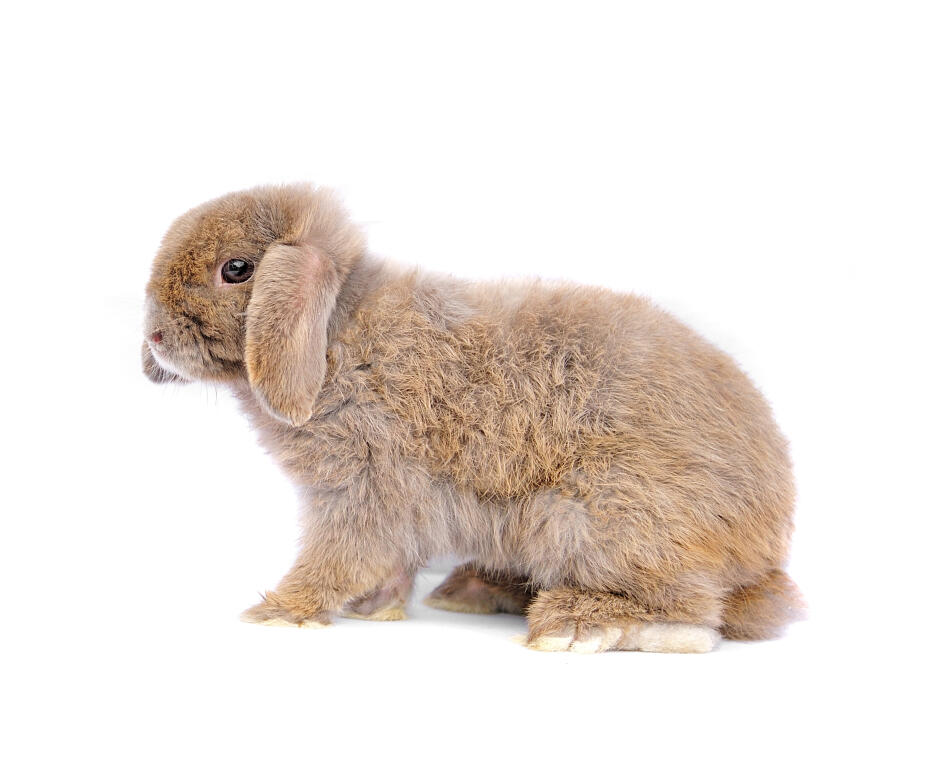French Lop For Sale | Rabbits | Breed Information | Omlet