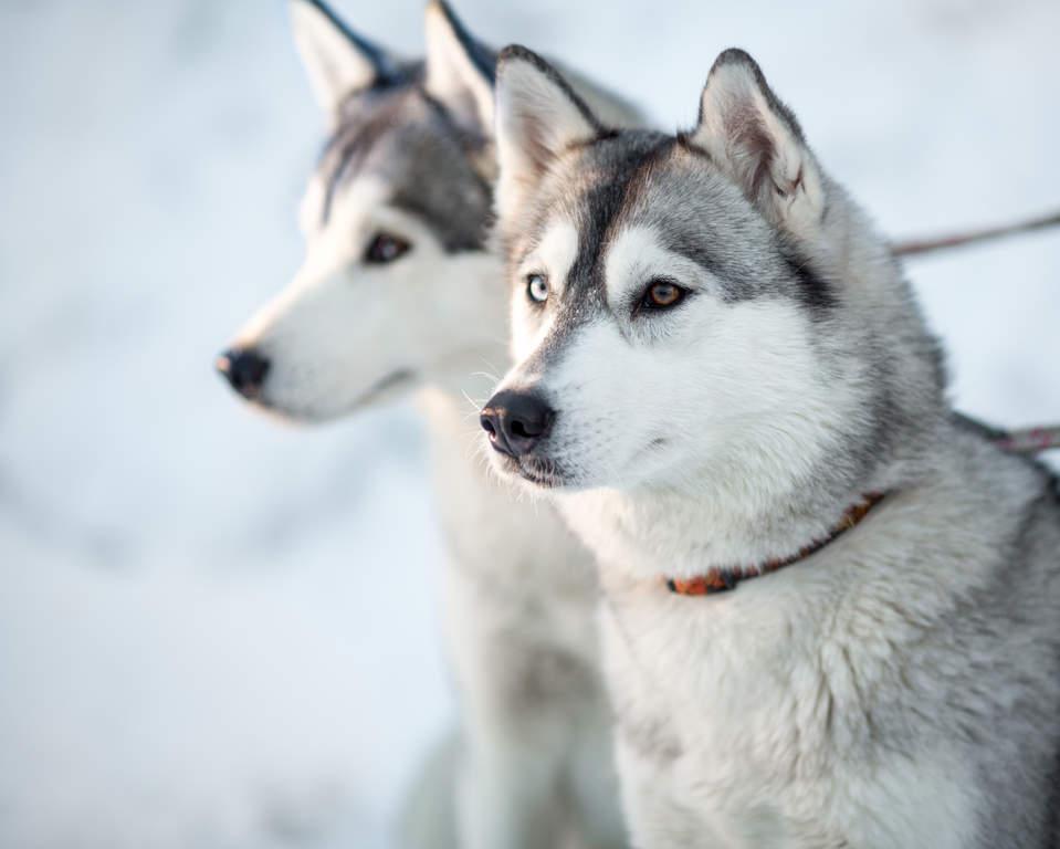 Swedish Mountain Dog Puppy