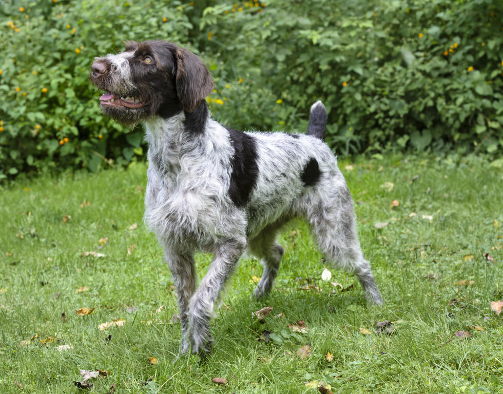 German Wirehaired Pointer History German Wirehair...