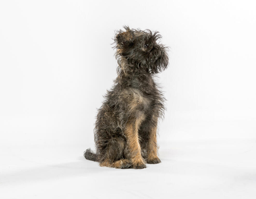 affenpinscher dogs breed information omlet
