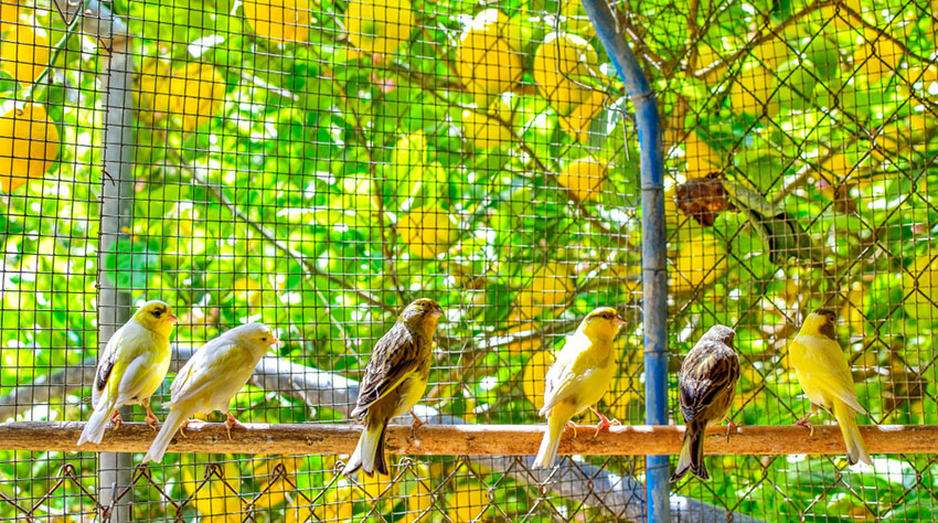 Canaries in aviary