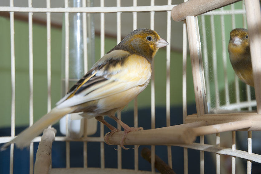Canary light type