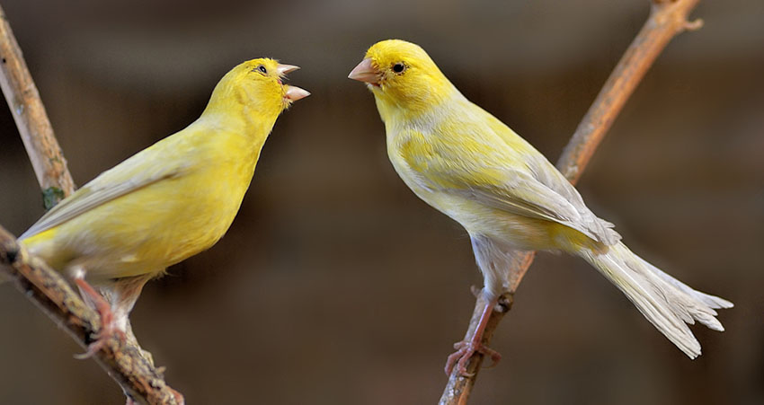Canary aggression