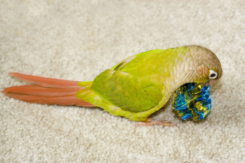 Cinnamon green-cheeked Conure with a toy
