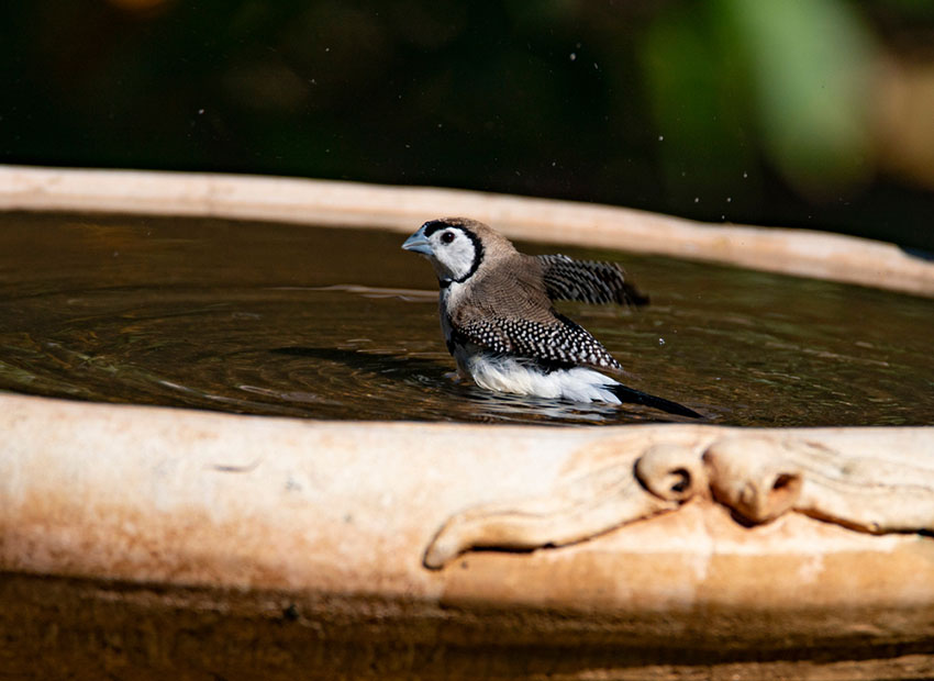 Double barred finch bathing