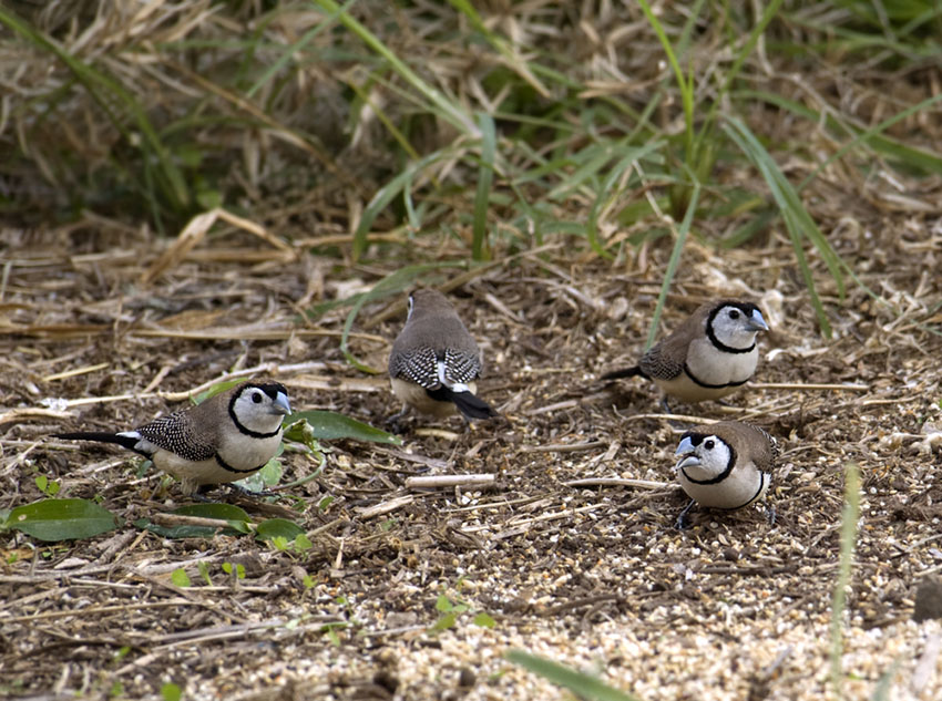 Java Sparrow on nest