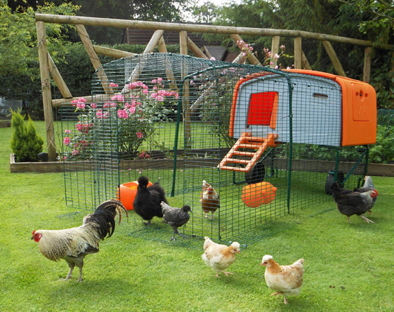 The Eglu Cube chicken house with run extension and chickens.