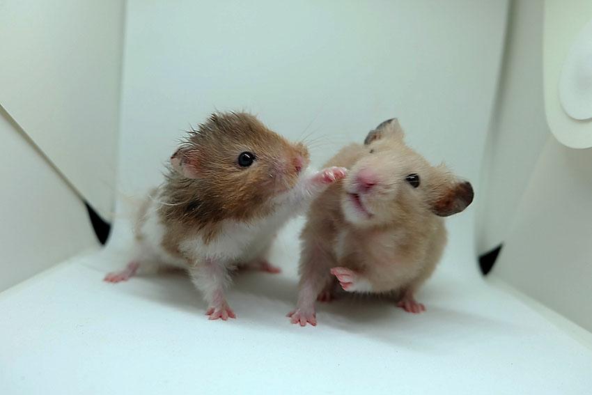 purchasing hamsters