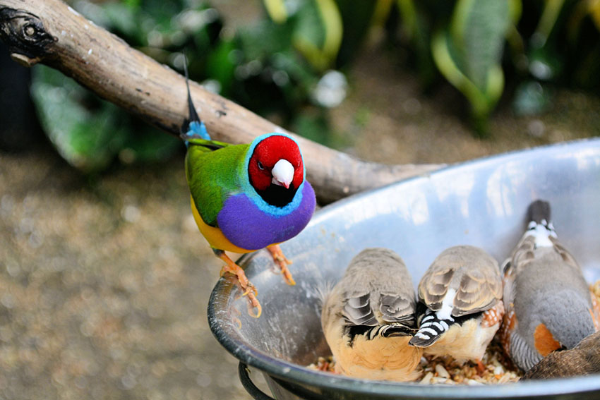 Gouldian and Zebra finches feeding together