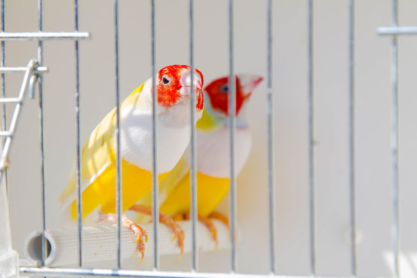 Gouldian finches in a cage