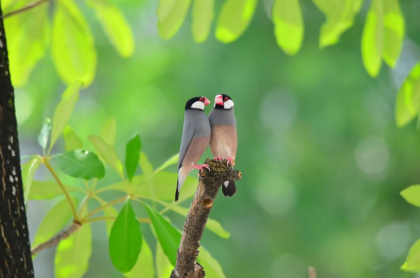 Java Sparrow pair