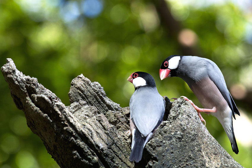 Java Sparrows in wild
