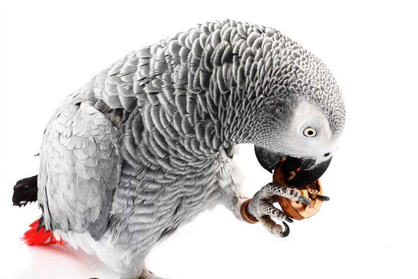 African Grey parrots talk