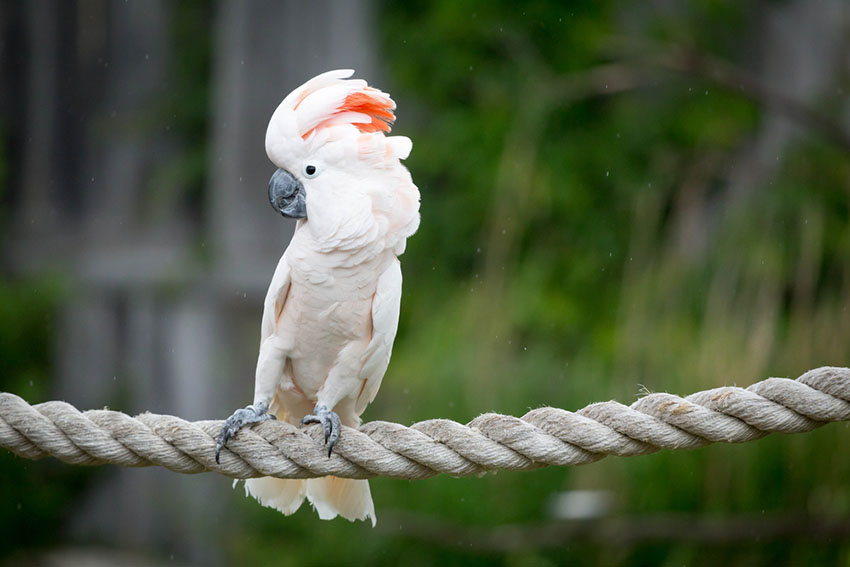 Moluccan cockatoo on rope perch