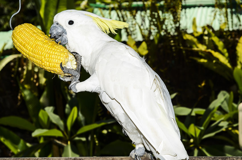 Cockatoo pros and cons of parrot keeping